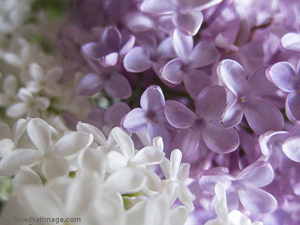 Close up of single-petaled lilacs in a bouquet, in lavender and white