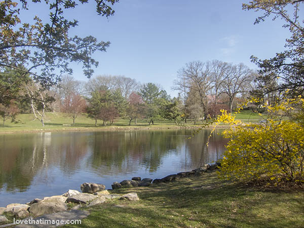 Forsythia blooms and pink trees reflect in a Connecticut pond scene