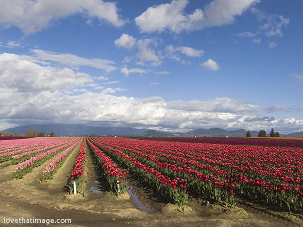 Red tulips reflected in a puddle in the Skagit Valley April tulip festival