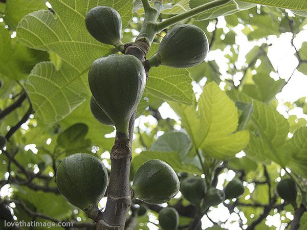 Unripe green figs in mid-May in Seattle