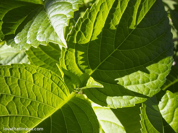 Hydrangea leaves with saw toothed edges and strong vein patterns in the sunshine