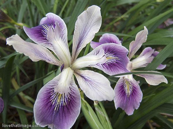 Purple and white Oregon iris