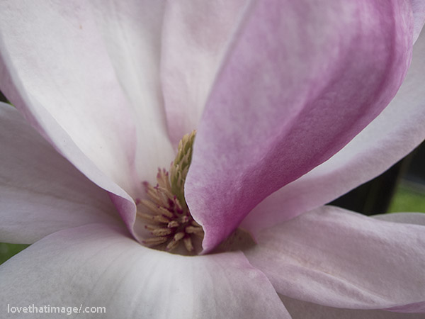 Pink and white Japanese magnolia blossom, up close
