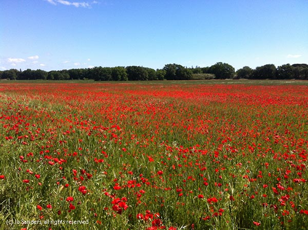 Red, red poppies in a field in the south of France