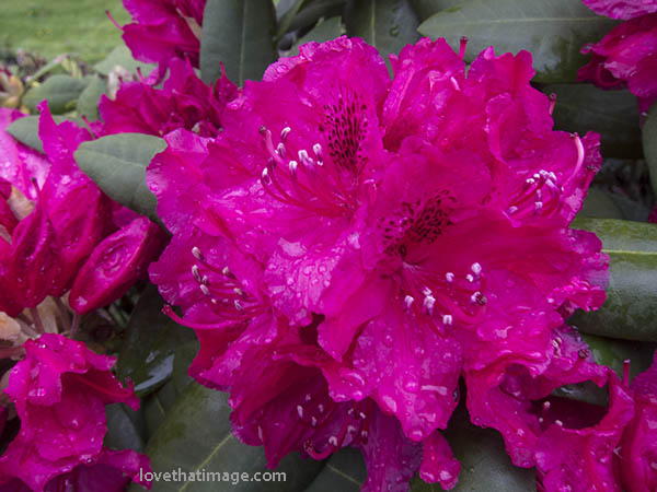 Rain-drenched red rhododendron flower