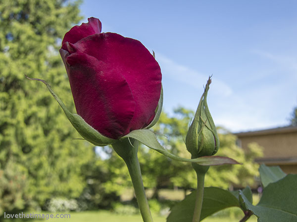 Red 'Don Juan' rose on own roots blooms in Seattle in May