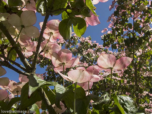 Pink dogwood tree blooming against a deep blue sky