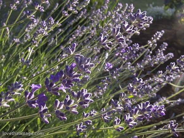 Fragrant lavender blooms in late June in Seattle