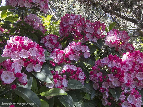 Red and pink mountain laurel