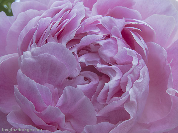 Frilly pink peony petals in close up, in the garden