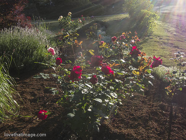 Red roses and lavender in the late afternoon sun