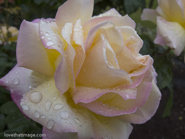 Peace rose with water droplets