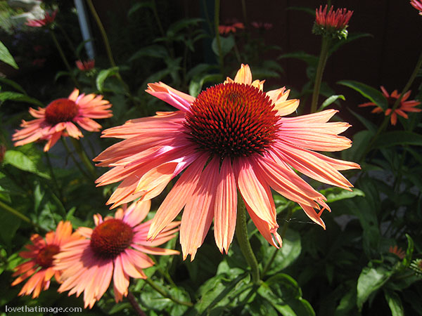 Orange coneflower or echinacea blooms in the July sunshine