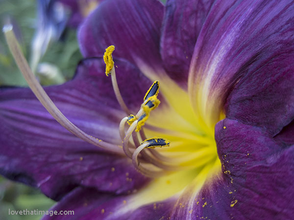 Bright yellow pollen at the center of a burgundy daylily