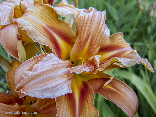 Many shades of red, orange and yellow on this double, frilled daylily