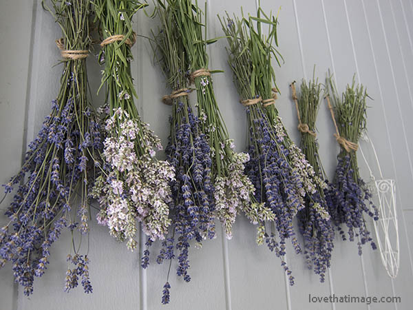 Pink and lavender lavender (!!) drying in twine-wrapped bunches