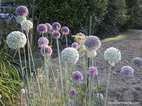 Leek flowers in the garden, in lavender and white