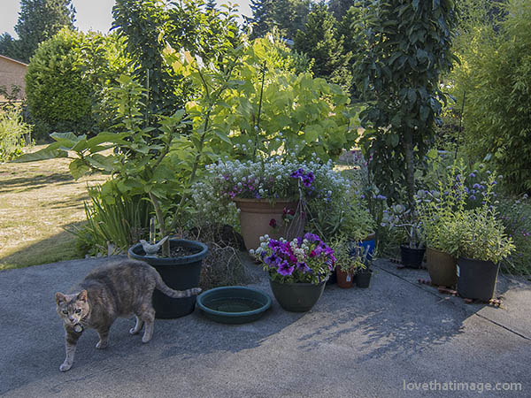 Smoke colored cat on a patio, with petunias