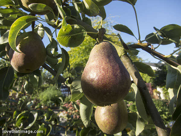 pear-tree-4873