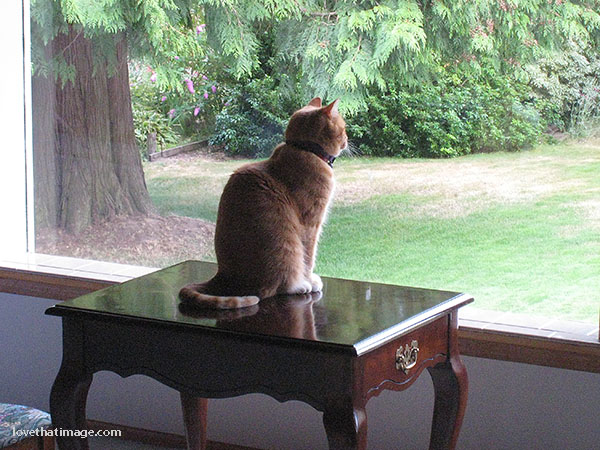 Female marmalade cat gazes out of picture window from a tabletop