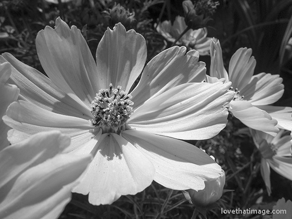 Cosmos flower in the garden, in black and white