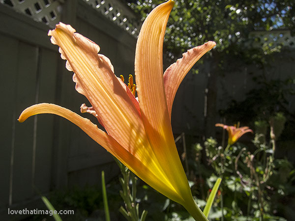 Single orange daylily showing the shadow of its stamens