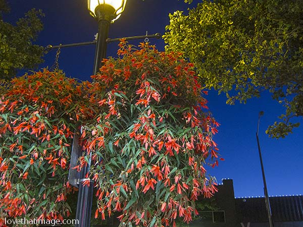 Orange-red begonias decorate a lamppost in West Seattle
