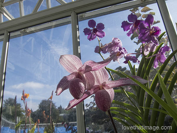 A beautiful last day for the orchids at the Conservatory, until re-opening in December, a mere two months or so away.
