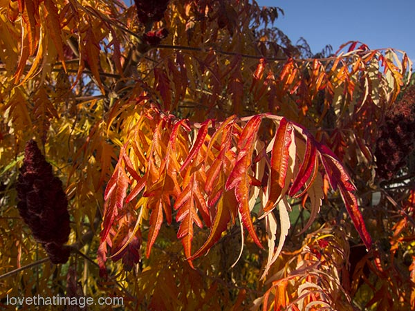 Red and orange Japanese maple leaves in autumn sunshine