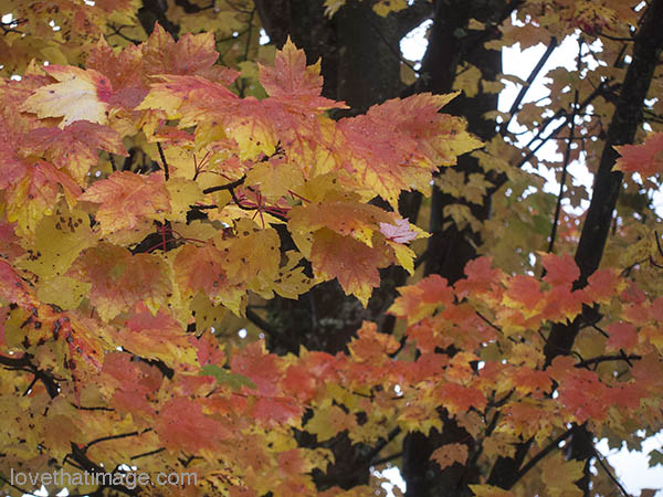 Orange and gold maple leaves still on the tree