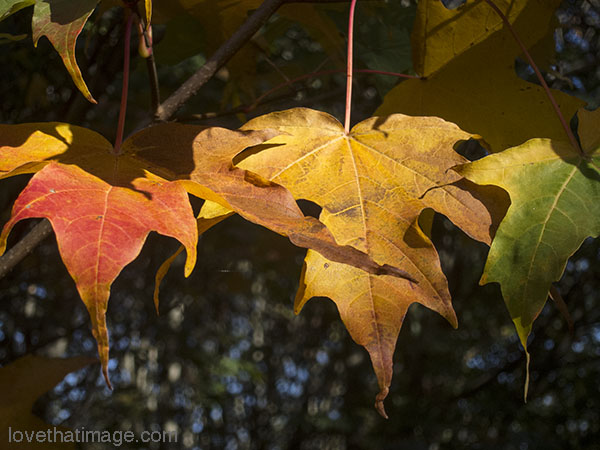 A trio of red, yellow, and green leaves in early fall