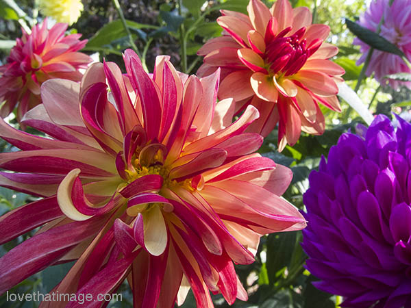 Red-and-yellow and purple dahlias in early fall sunshine
