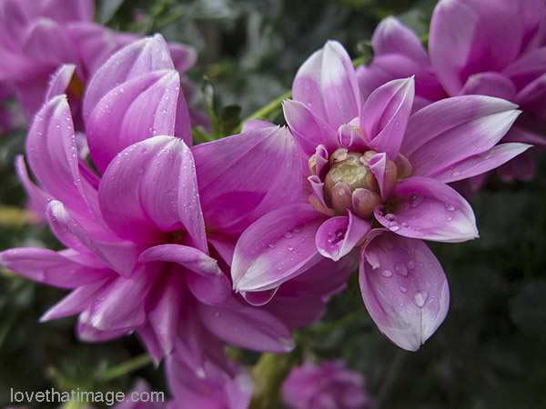 Pink dahlias with white tips, drenched in the rain