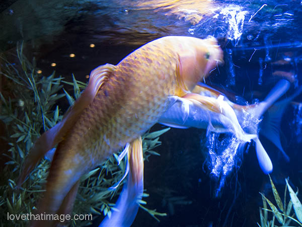 Koi fish in aquarium sara 39 s fave photo blog for Coy fish aquarium