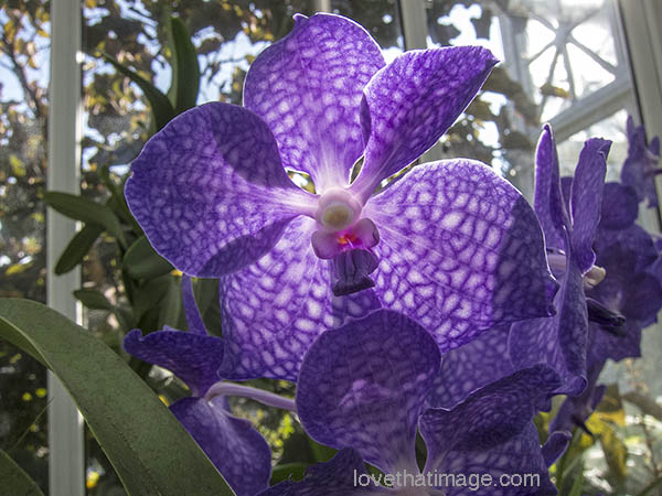 Backlit vanda orchids show an almost plaid pattern at the Volunteer Park Conservatory