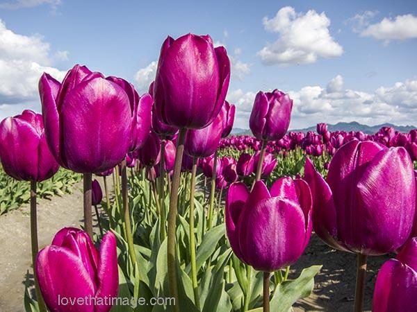 Magenta tulips in a field in Skagit Valley, Washington