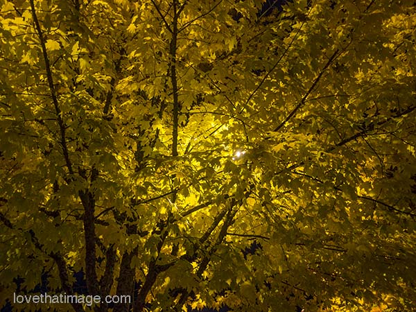 Trees with yellow leaves, at night