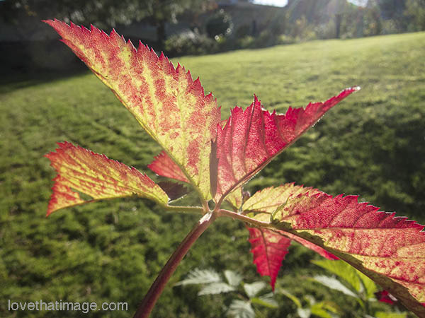 Boysenberry leaves color up for fall