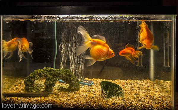 Four fancy iridescent goldfish swim a last few minutes in their ten-gallon aquarium