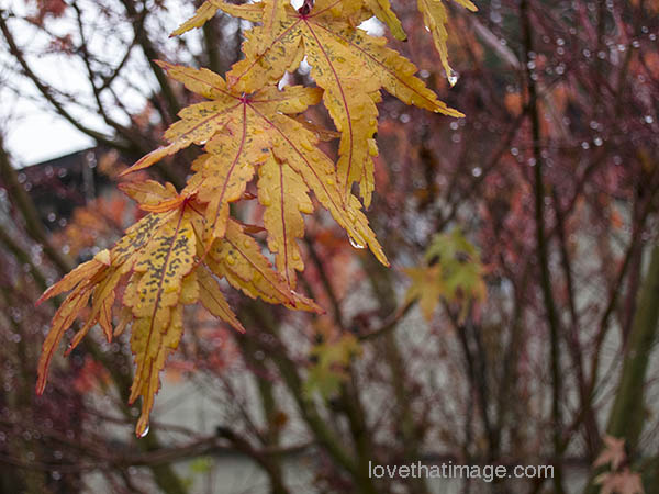Yellow Japanese maple leaves with red edges in autumn rain