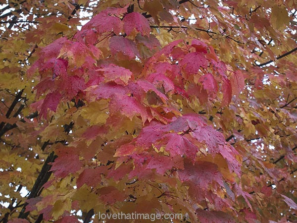 Red maple leaves wet with rain