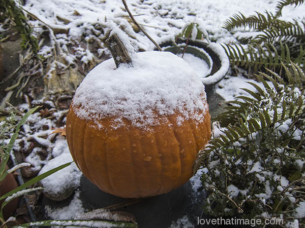 Snow makes white cap on pumpkin