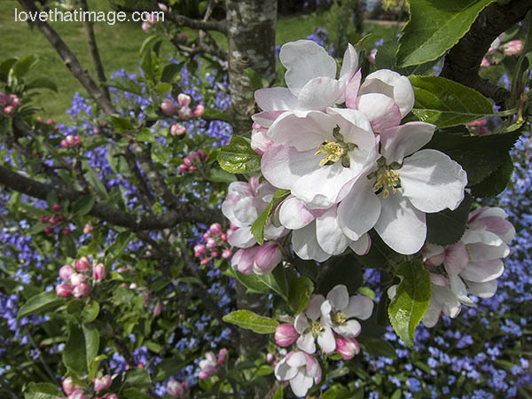 Pink and white apple blossoms in spring sunshine