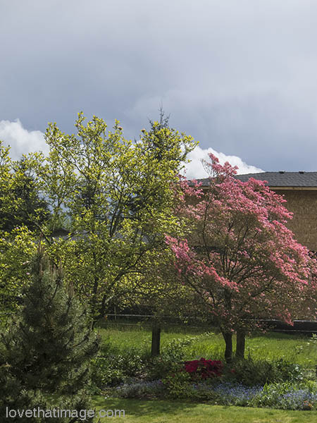 Pink dogwood blooms in April in Seattle. Rain is coming!