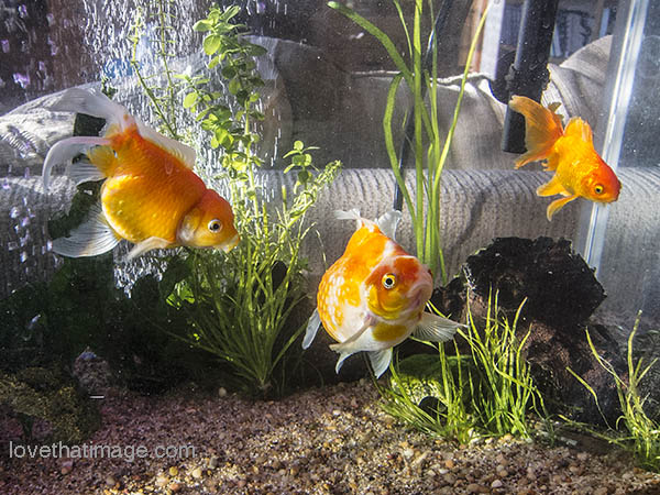 Three fancy goldfish in their new tank