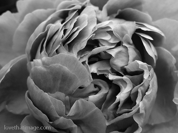 Many ruffled petals in this close up of a peony blossom