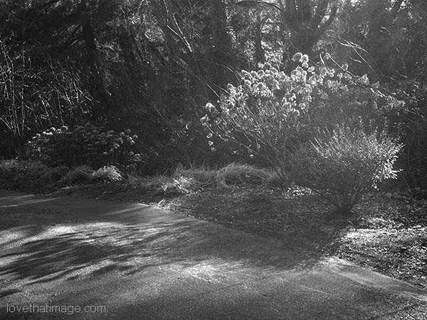 Monochrome image of some bushes in the low winter sunshine