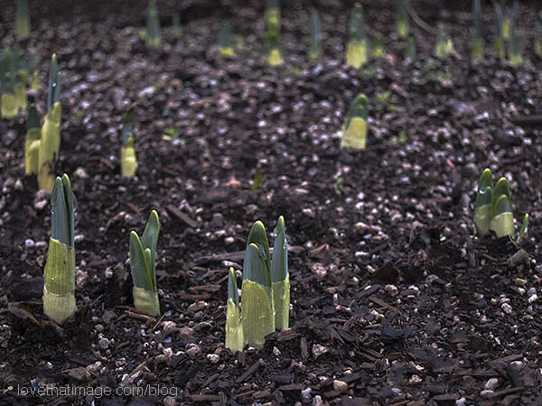 Tender green sprouts of daffodils emerge in January in Seattle