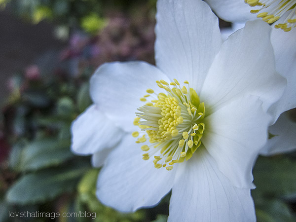 Simple white hellebore with a yellow center blooms in January in Seattle