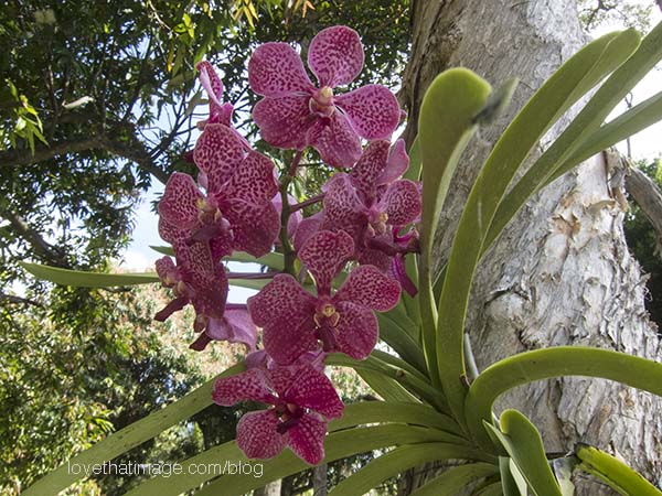 Deep pink orchid with red spots clinging to a tree with shaggy bark in Florida